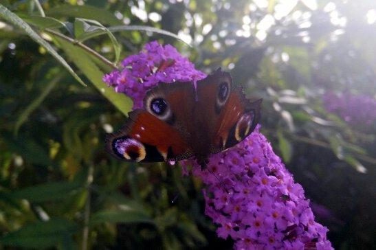 papillon-buddleia